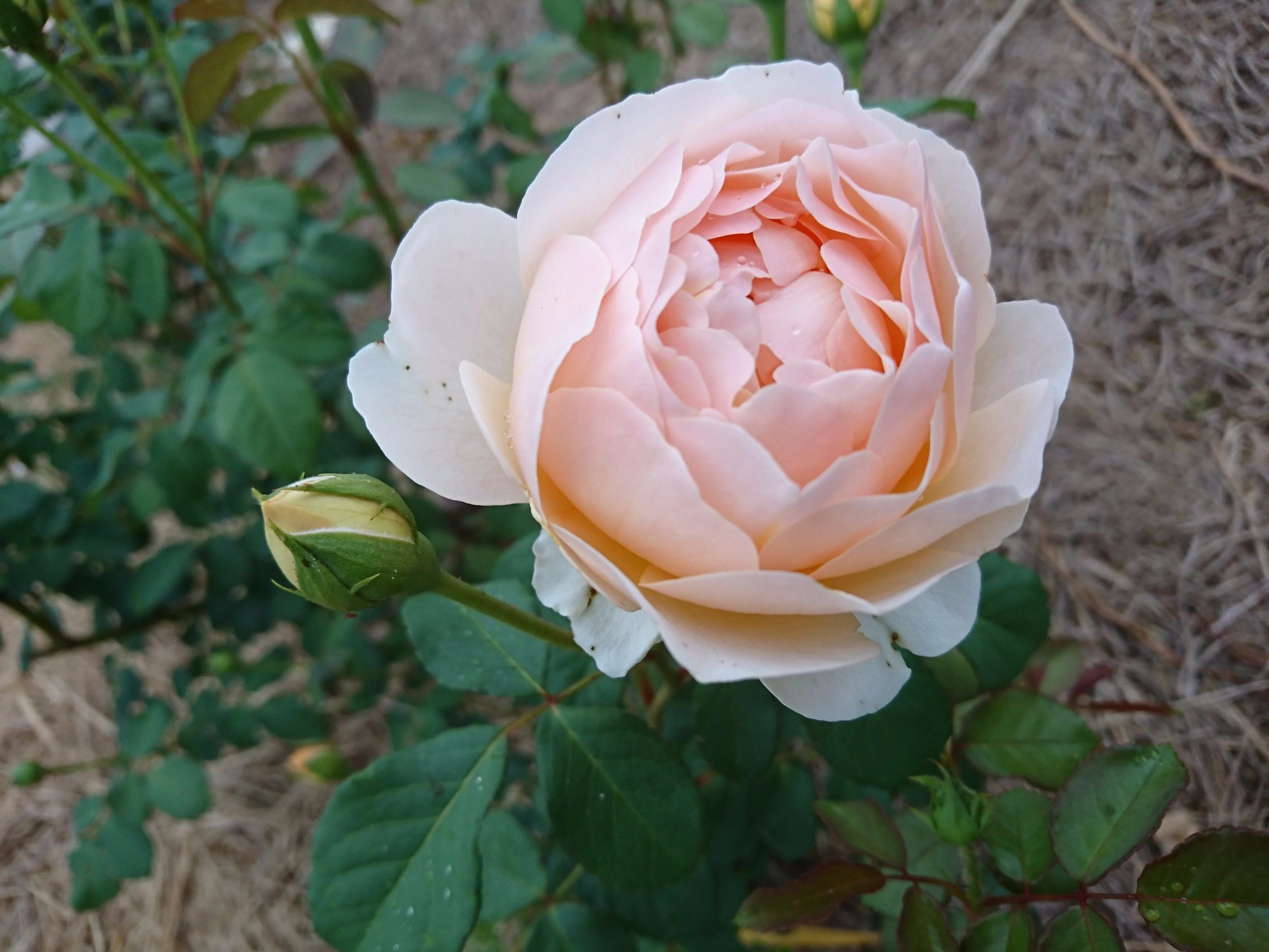 09 jude the obscure 2019 pre order eumundi roses dance not too many thorns hes one of my favourites definitely a must have along with all those other must haves the bush is hardy and healthy and of medium mightylinksfo