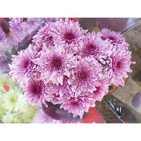Chrysanthemum Pip Pink