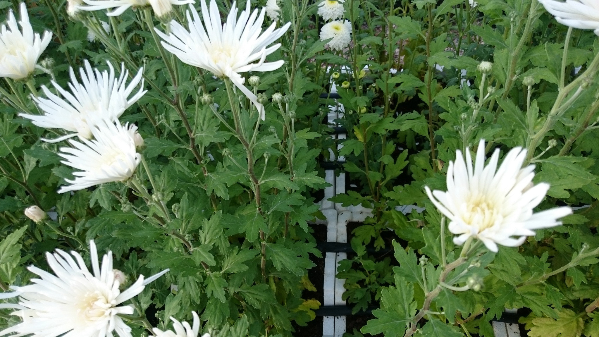 White Spider Chrysanthemum