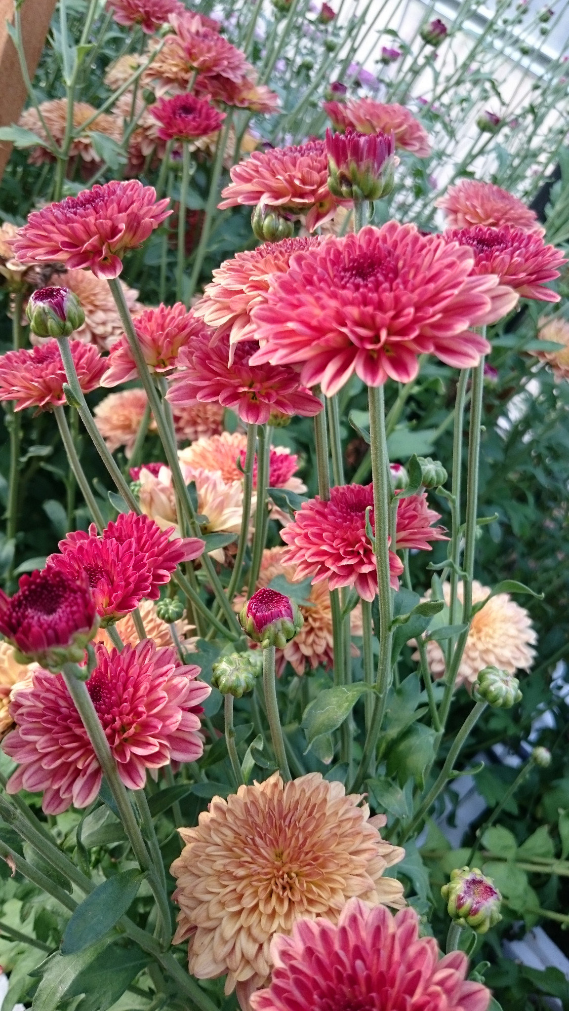 Terracotta/Caramel Chrysanthemum
