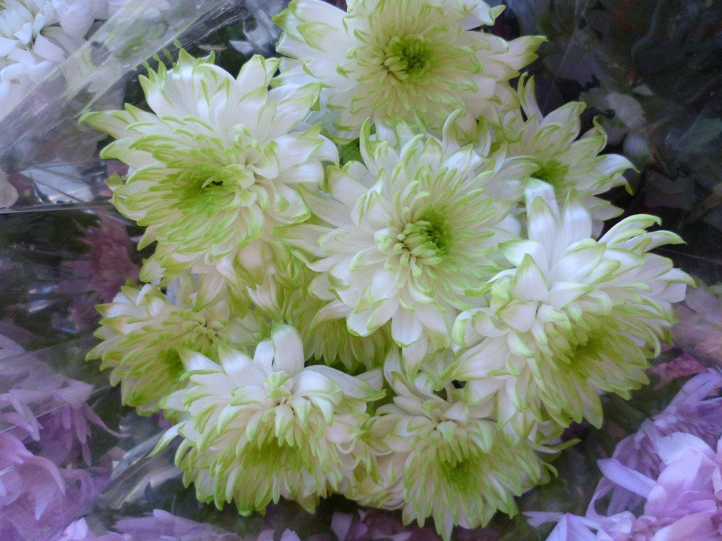 Chrysanthemum Furore Lime/White Pom Pom