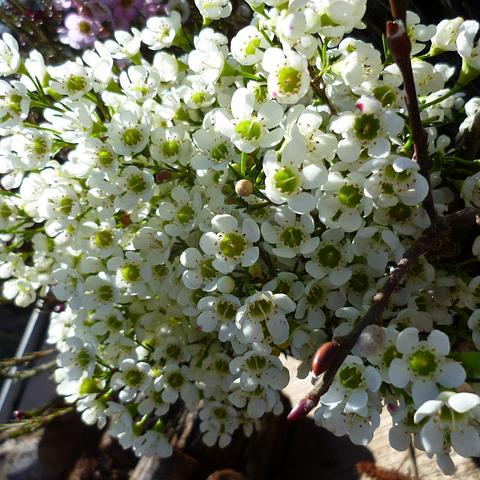 waxflower/pearlflower white