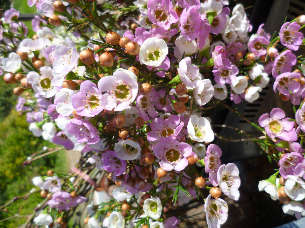 waxflower in season Aug/Oct