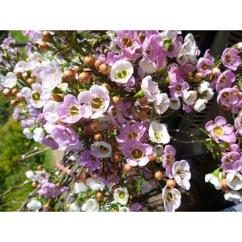 waxflower in season Aug/Oct
