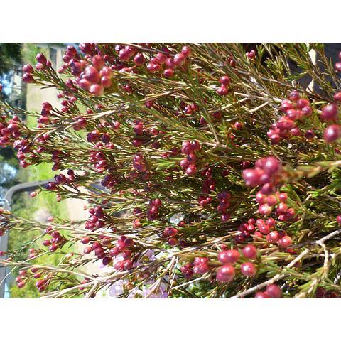waxflower bud in season July/Aug