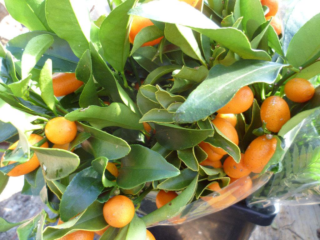 Cumquat bunch