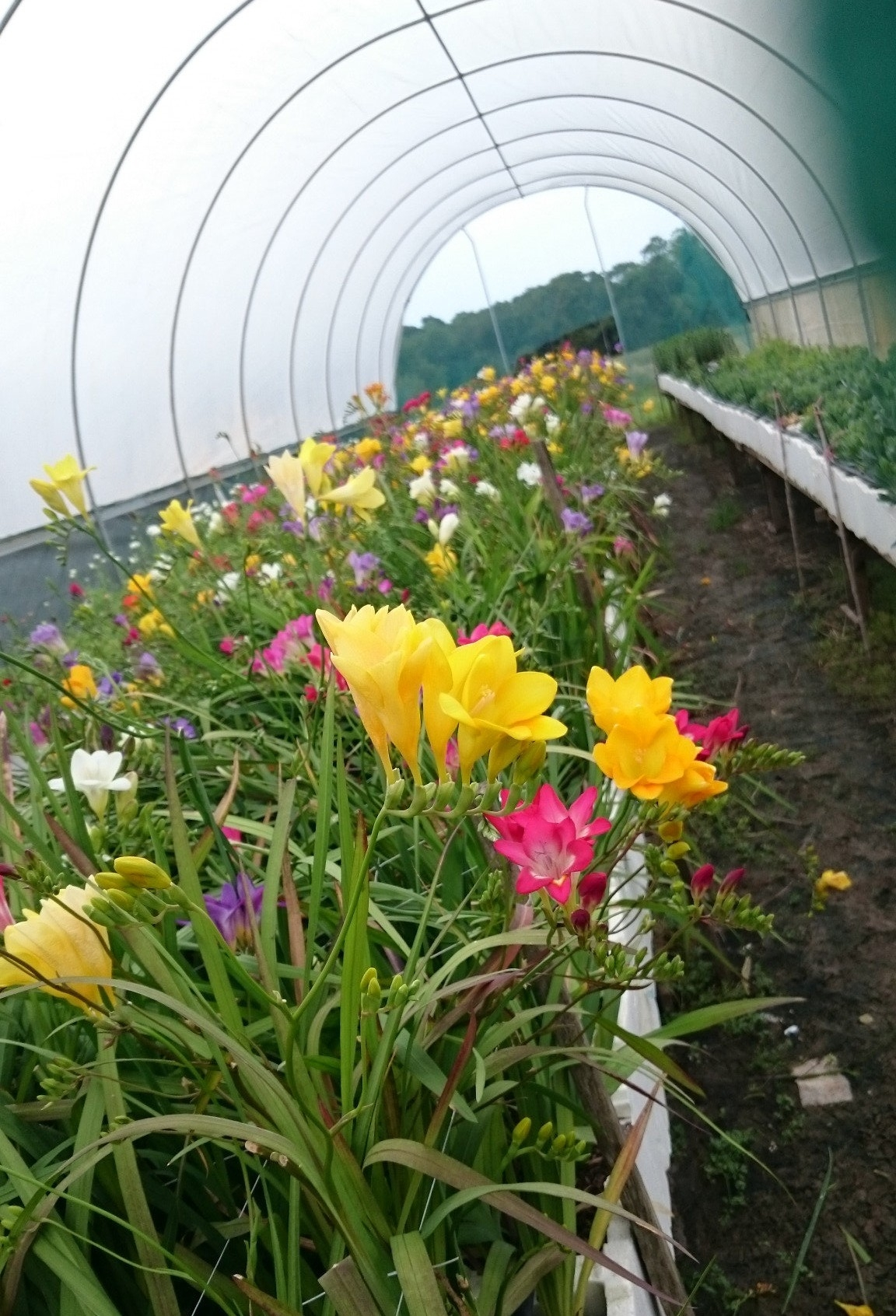 Freesia mixed colours available July/Sept