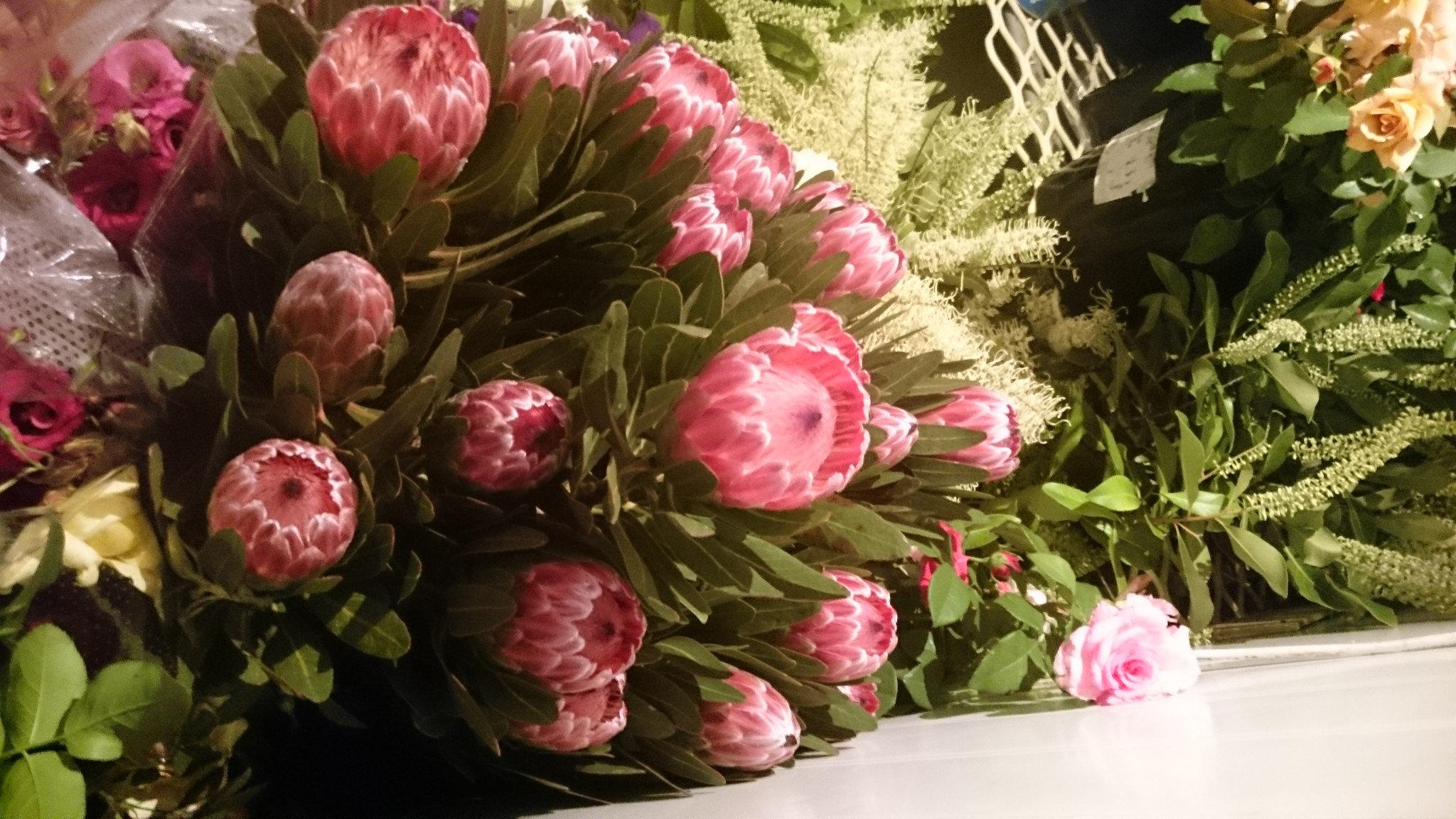 Protea / Pink Ice per stem