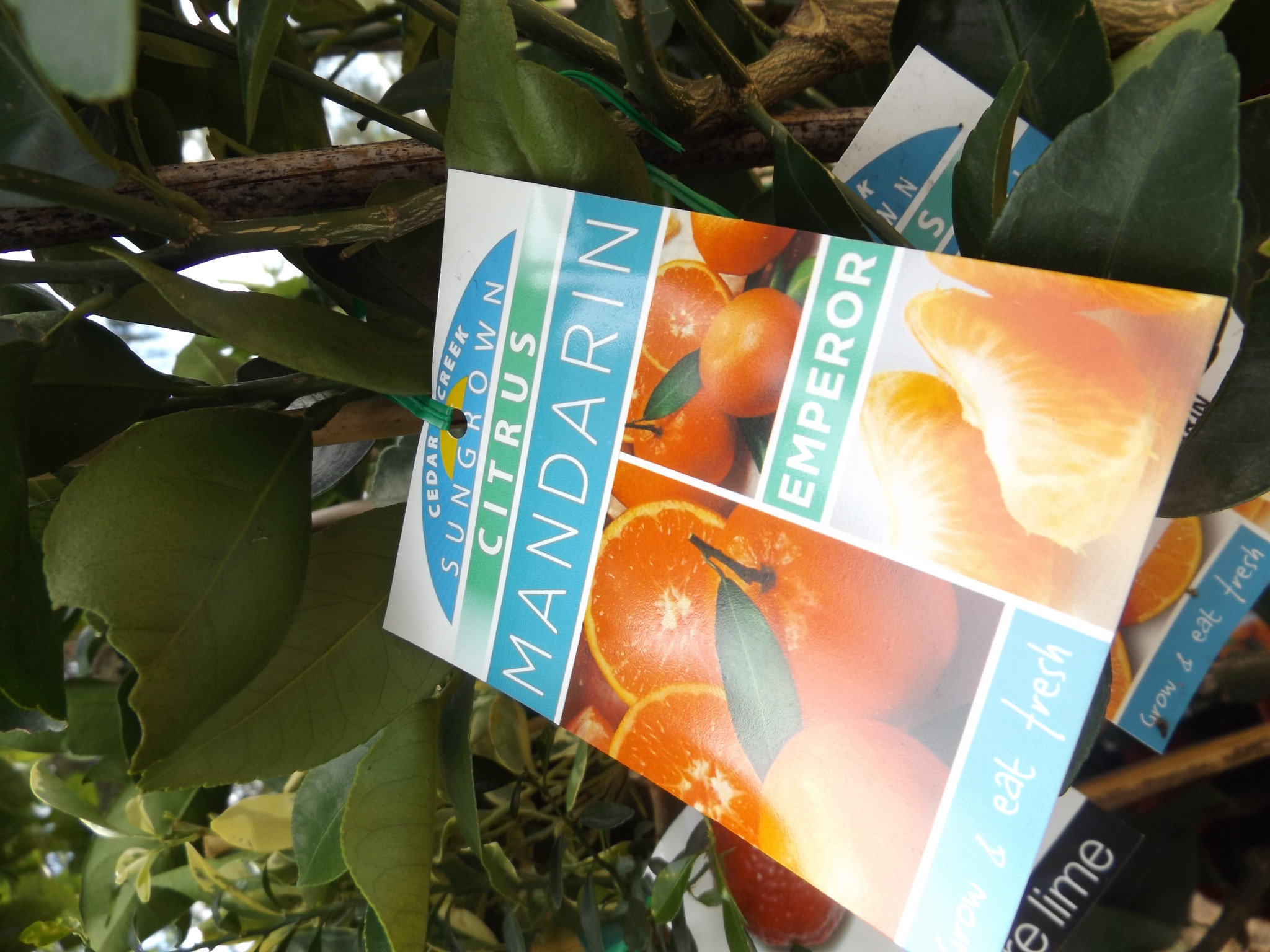 Citrus trees