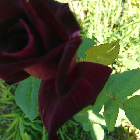 30 The RSL Rose