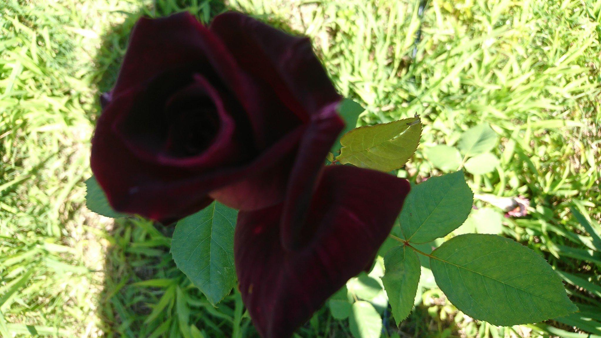 The RSL Rose