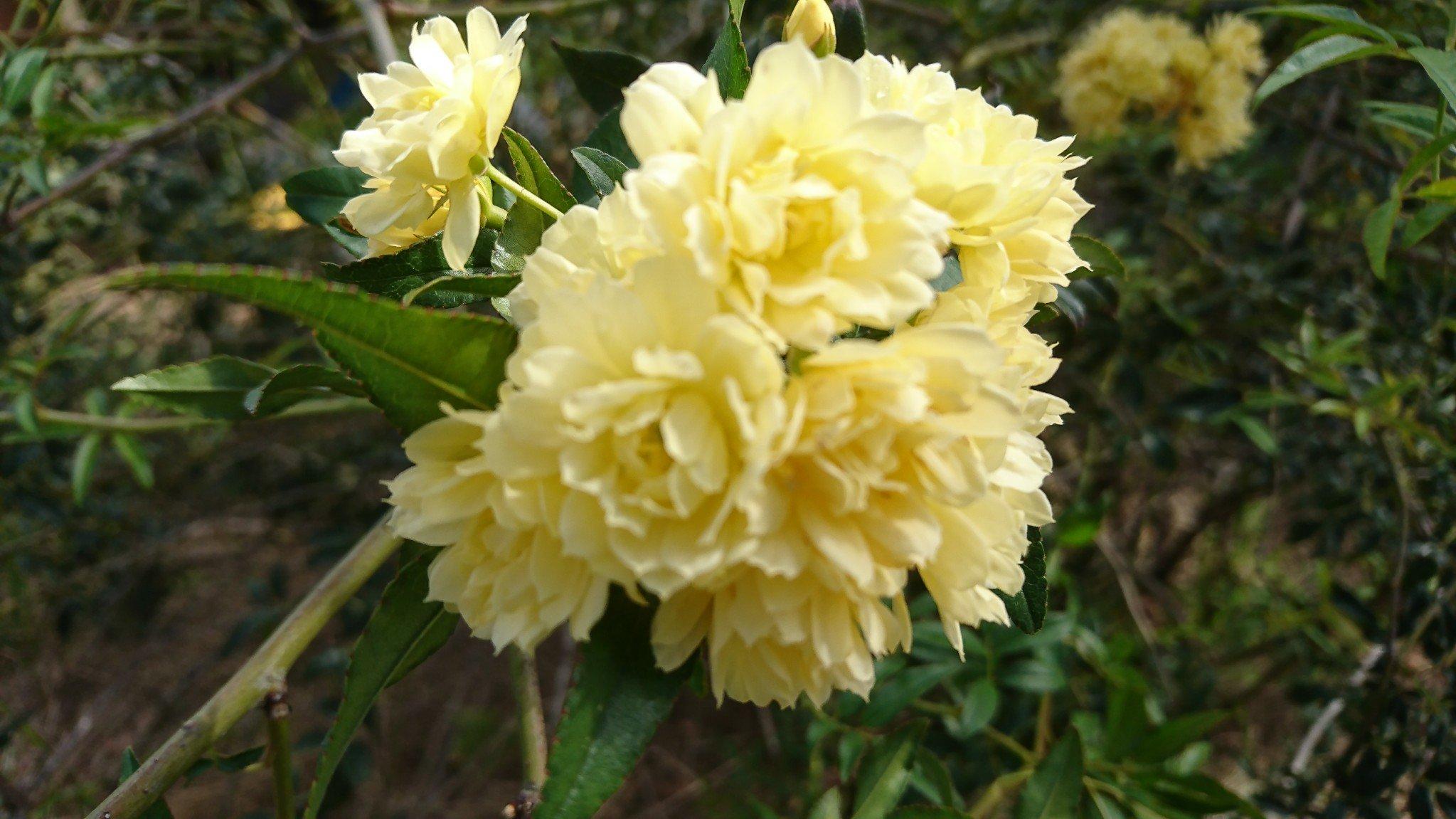 47 Yellow Banksia Rose