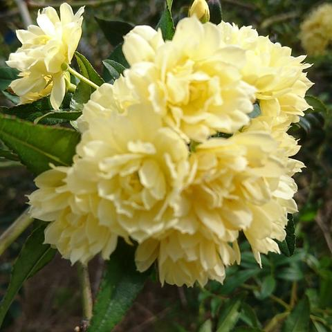 47 Yellow Banksia Rose
