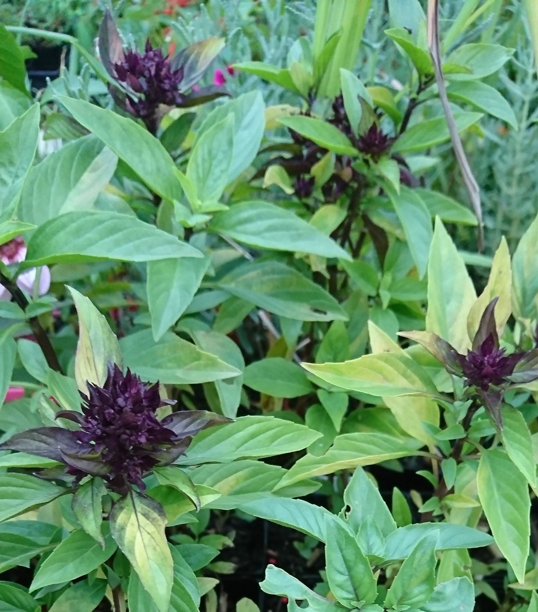 Herbs: Basil varieties