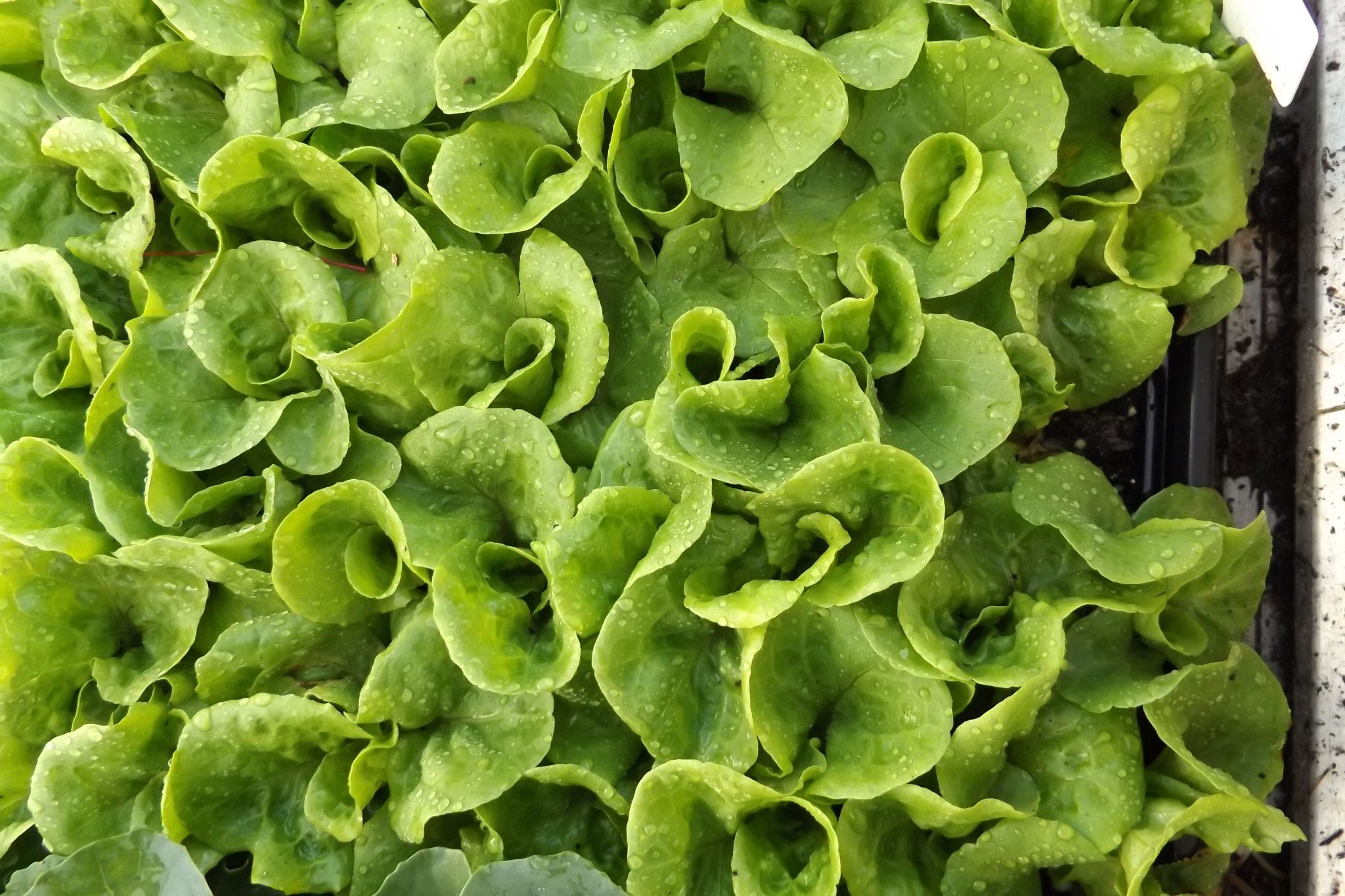 Seedlings: Lettuce varieties