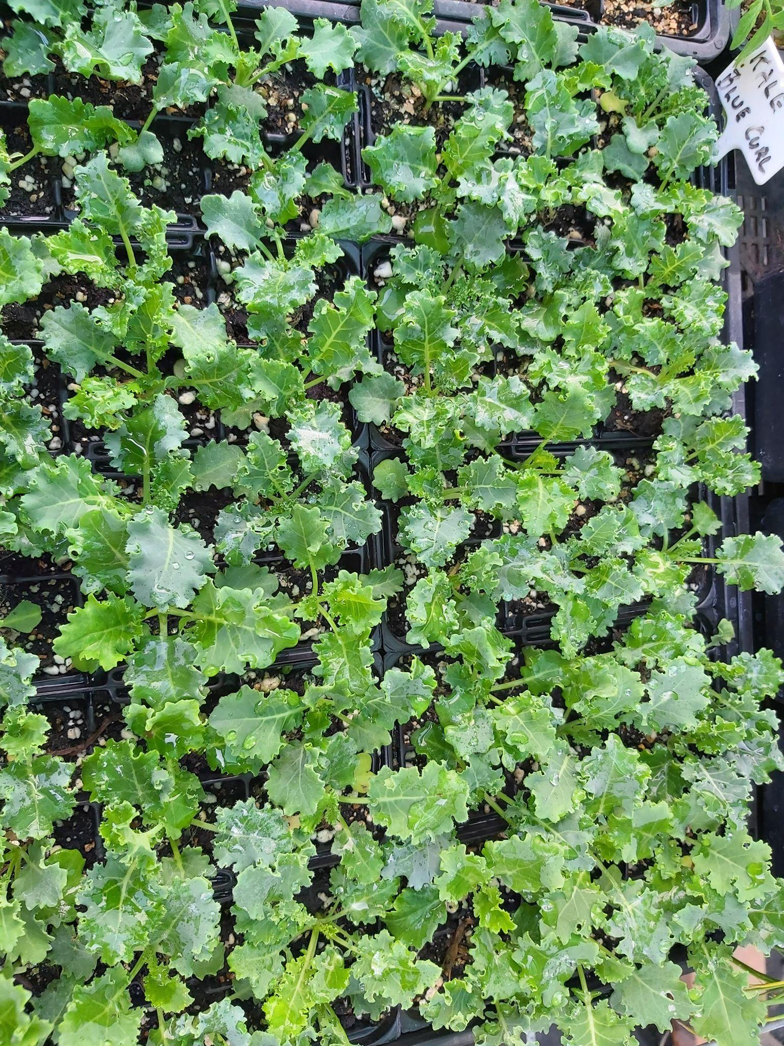Seedlings: Kale varieties