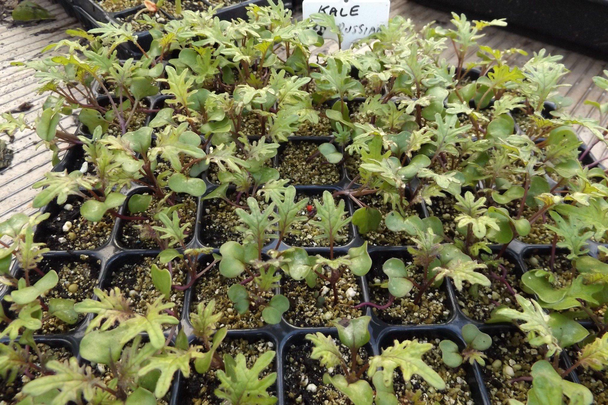Seedlings: Kale varieties