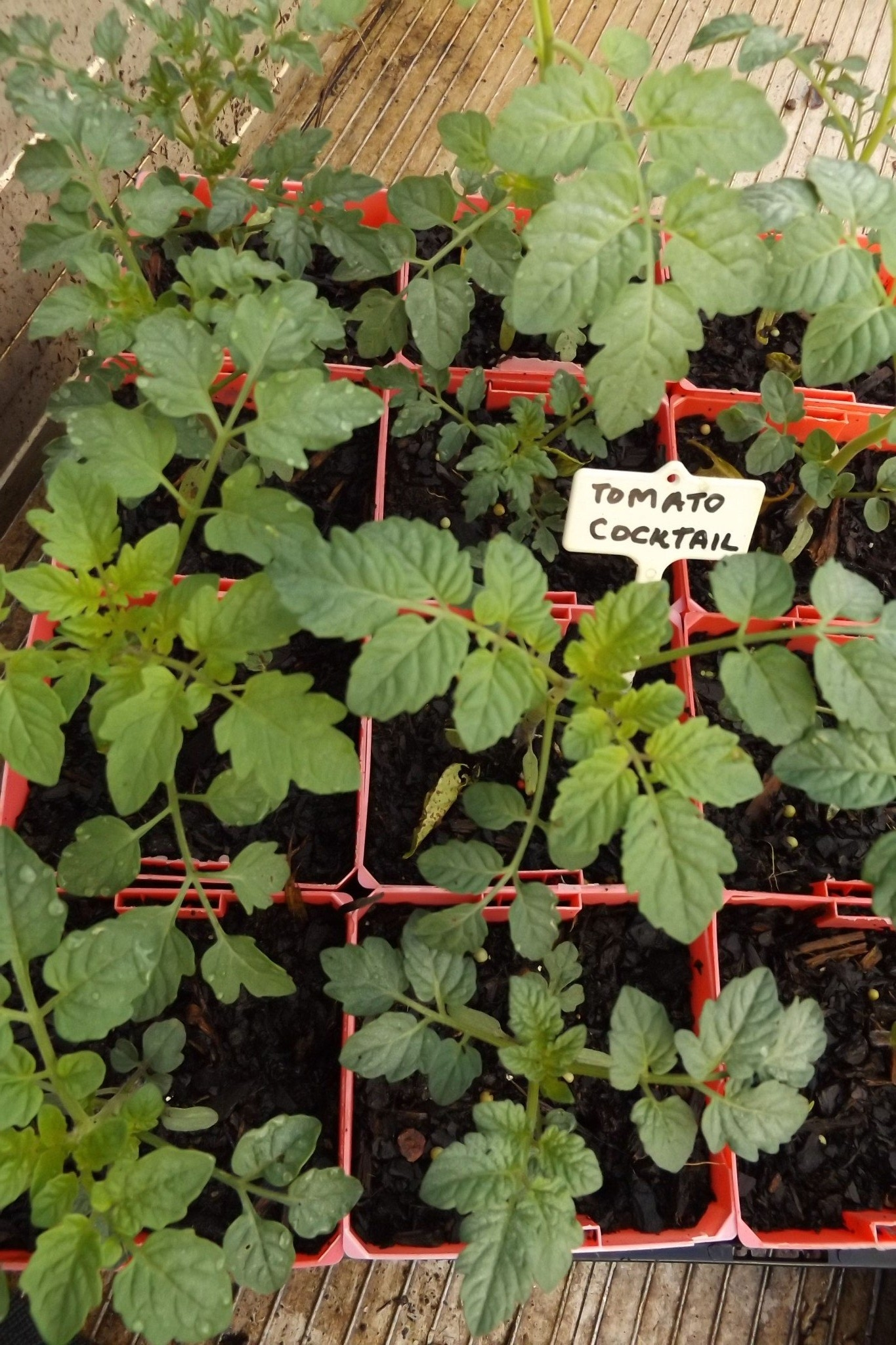 Seedlings: Tomato Varieties